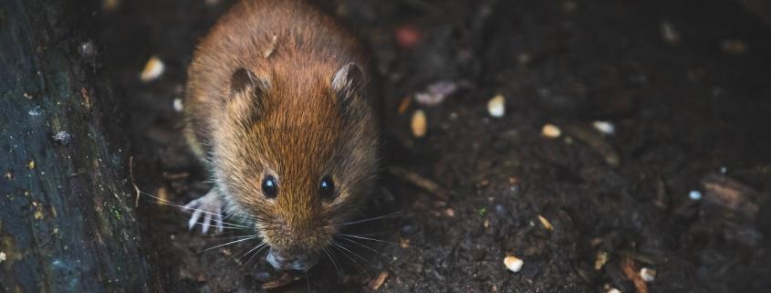 Muizen in huis bestrijden